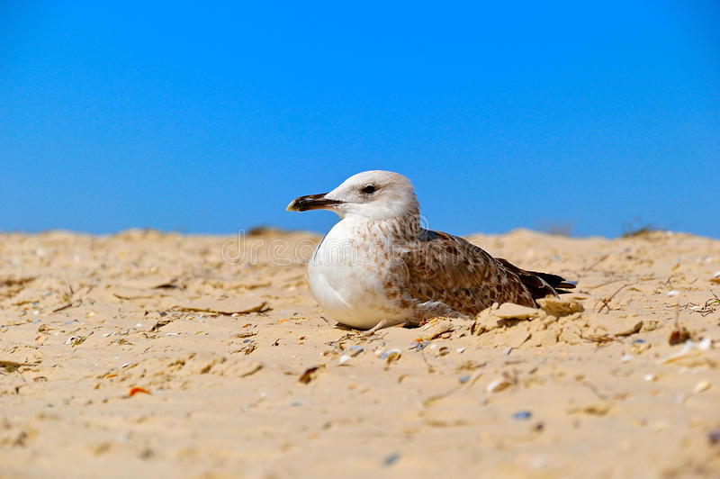 Young seagull bird resting in the sand on the sea shore. Young seagull bird resting in the sand on the Black Sea shore, Lazurne, Ukraine royalty free stock images