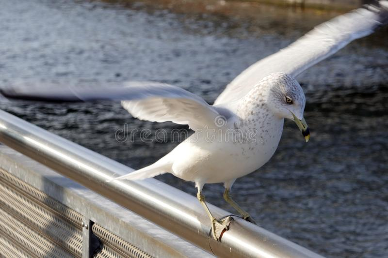 Young Seagull landing stock images