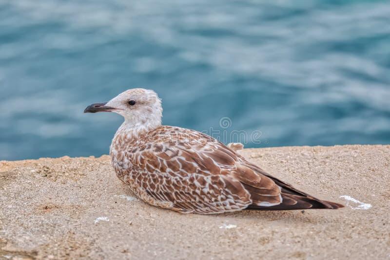 The young seagull near the sea on island Pag, Croatia stock image