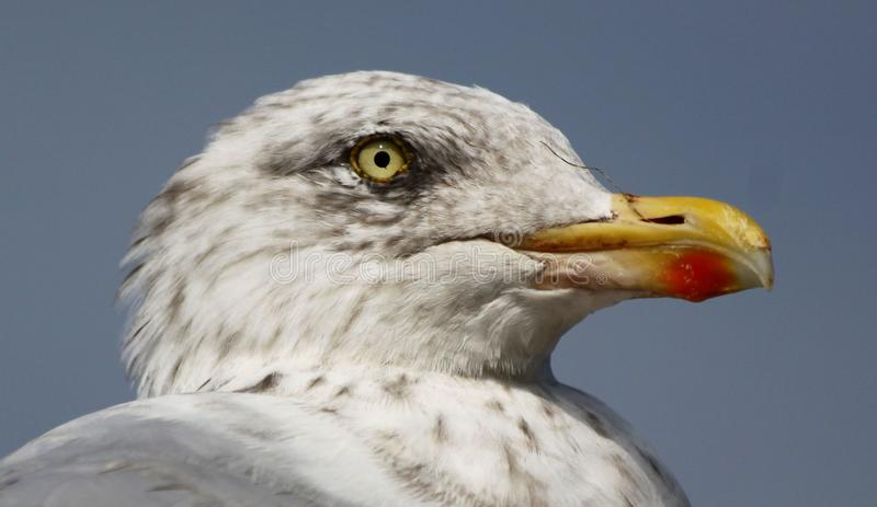 Young Seagull Portrait royalty free stock photo