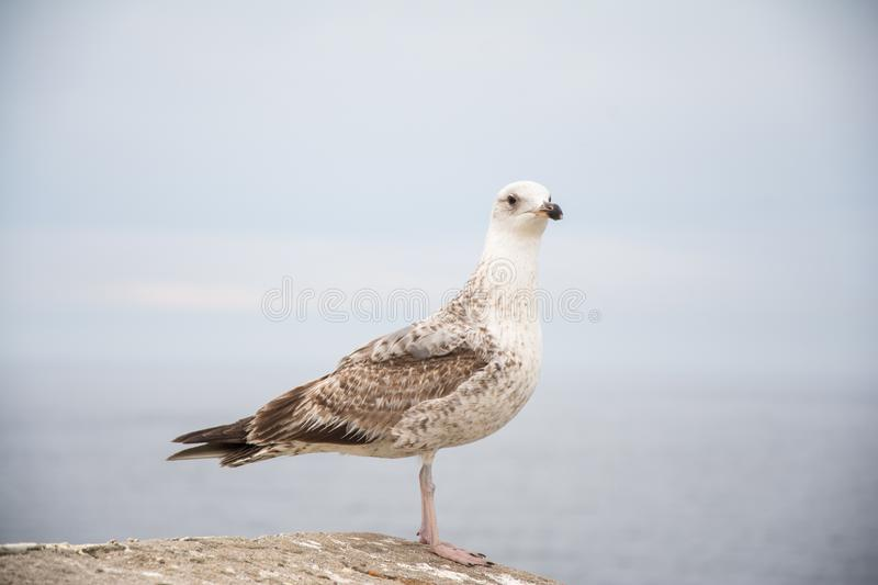 Young seagull in a rock stock photography
