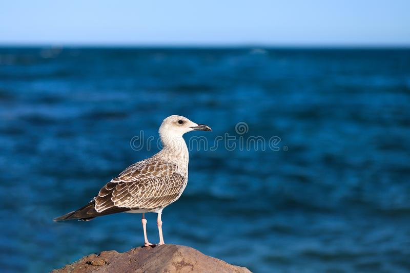 A young seagull standing on a stone against the backdrop of the Black Sea. The concept of travel, leisure, freedom, happiness stock images