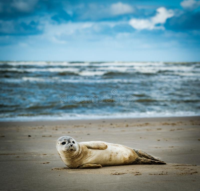 Young seal. On Beach in the Netherlands stock image