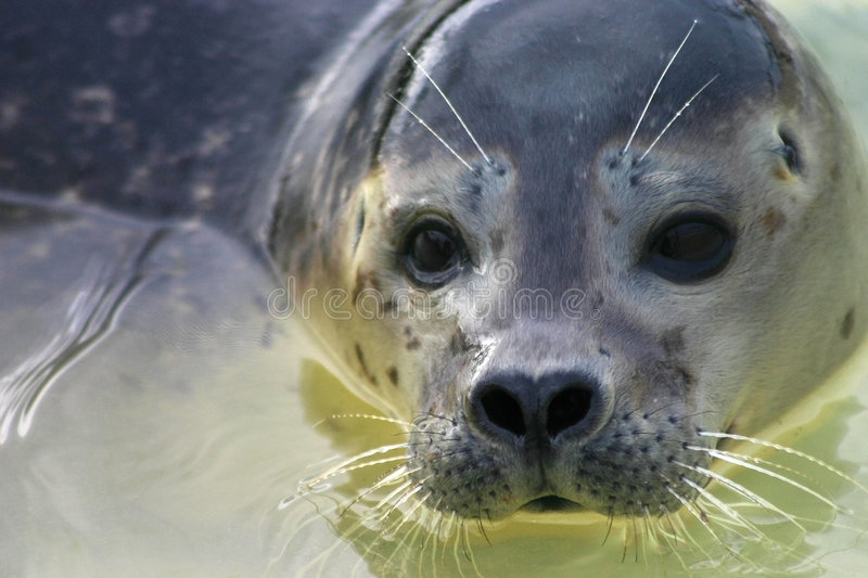 Young seal face royalty free stock photo