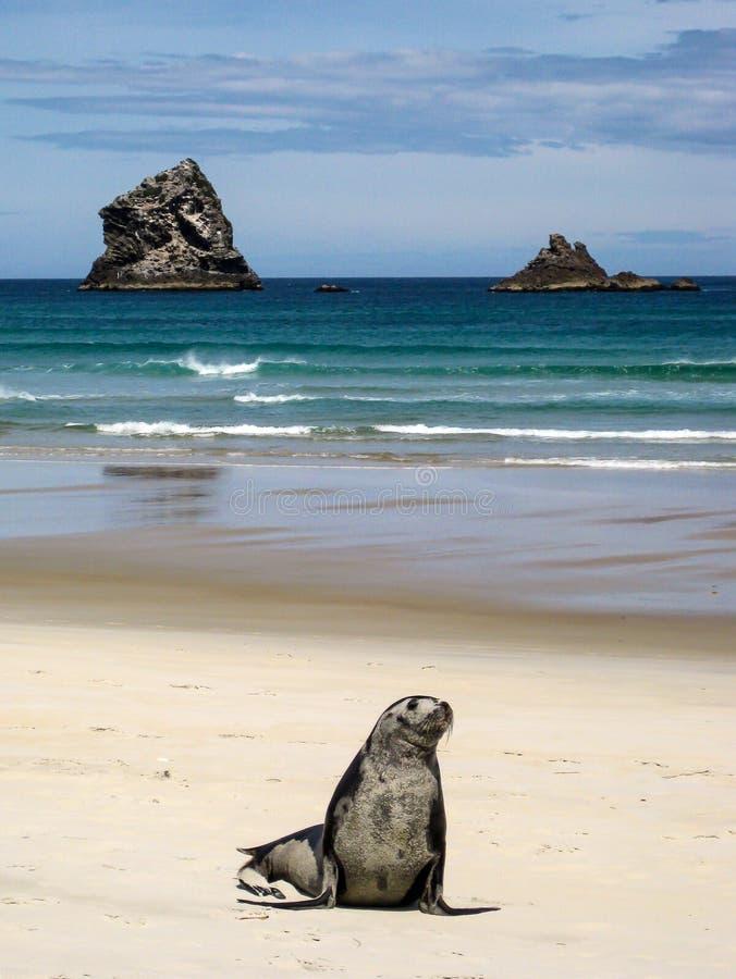 Young Seal royalty free stock photos