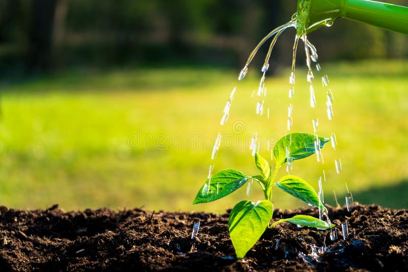 Young seedling watering in the soil with water can. Water drops falling onto new sprout on sunny day in the garden in summer stock photography
