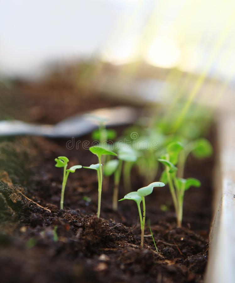 Young seedlings close-up. stock photography