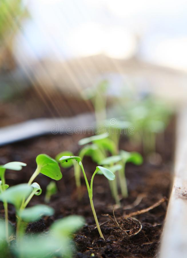 Young seedlings close-up. royalty free stock image