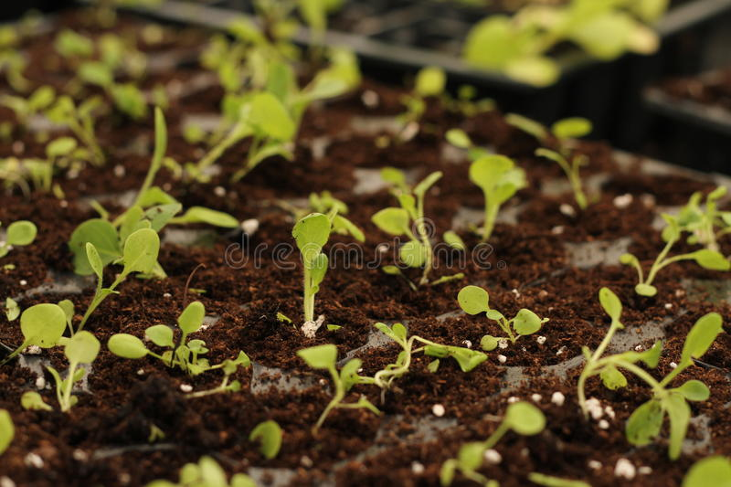 Young seedlings. Growing young seedlings for planting in the garden stock images