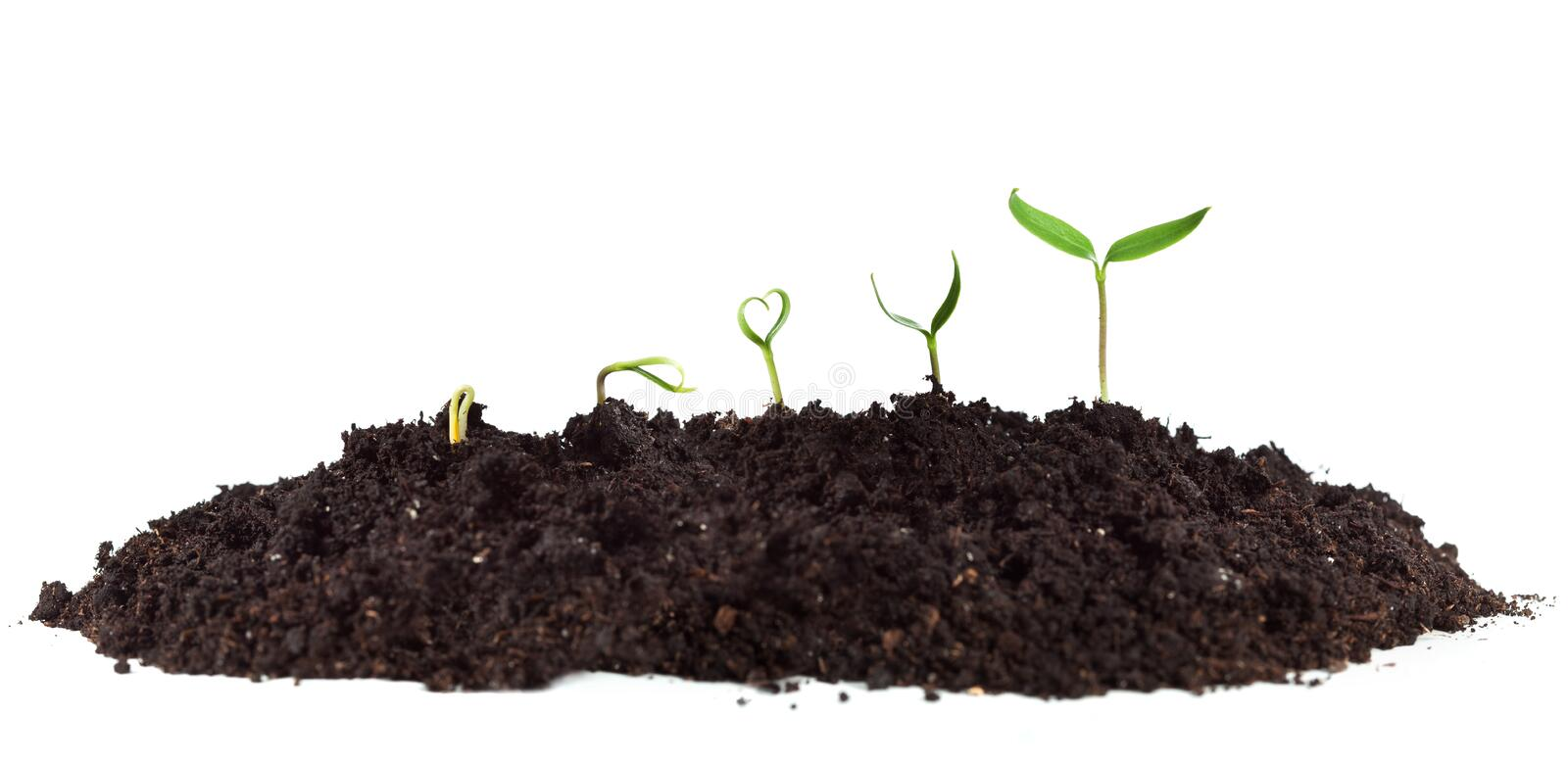 Young seedlings growing in soil heap royalty free stock photo