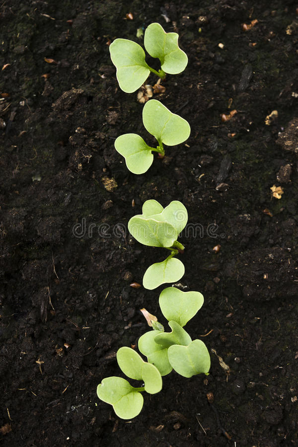 Young seedlings royalty free stock photography