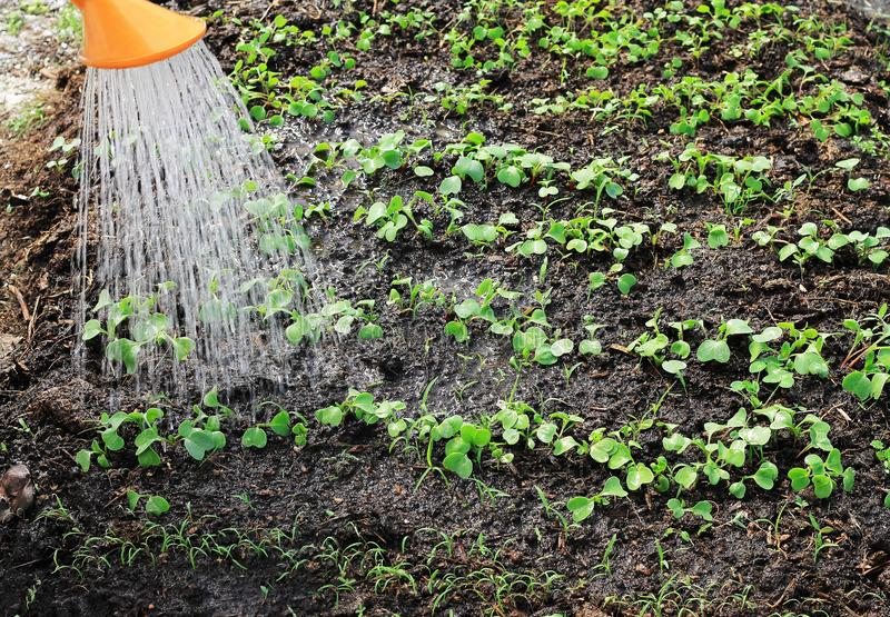 Young seedlings are watered from the watering can see water streams and wet earth stock photo