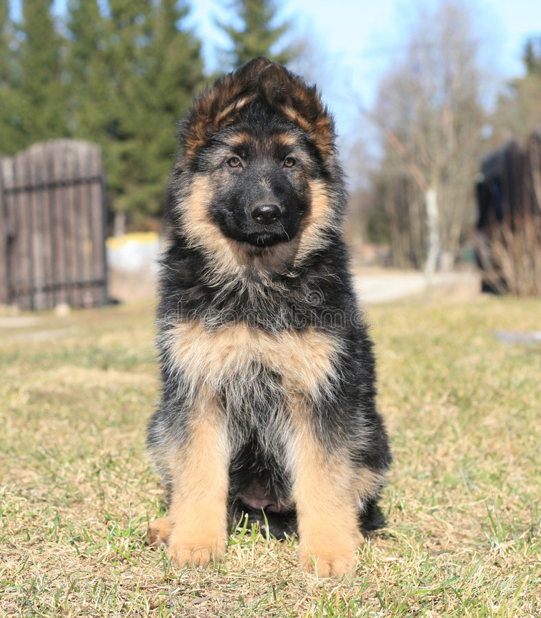 Young sheep-dog. Sweet shepherd puppy sitting in the garden stock image