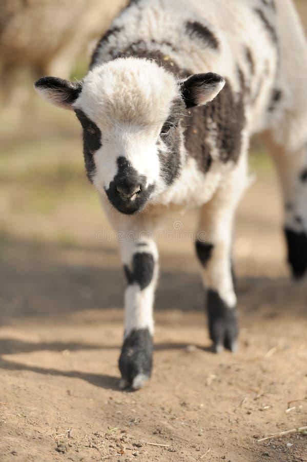 Young sheep stock image