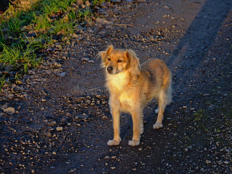 Young shepherd dog in evening sunlight. Young light brown shepherd dog in evening sunlight stock images
