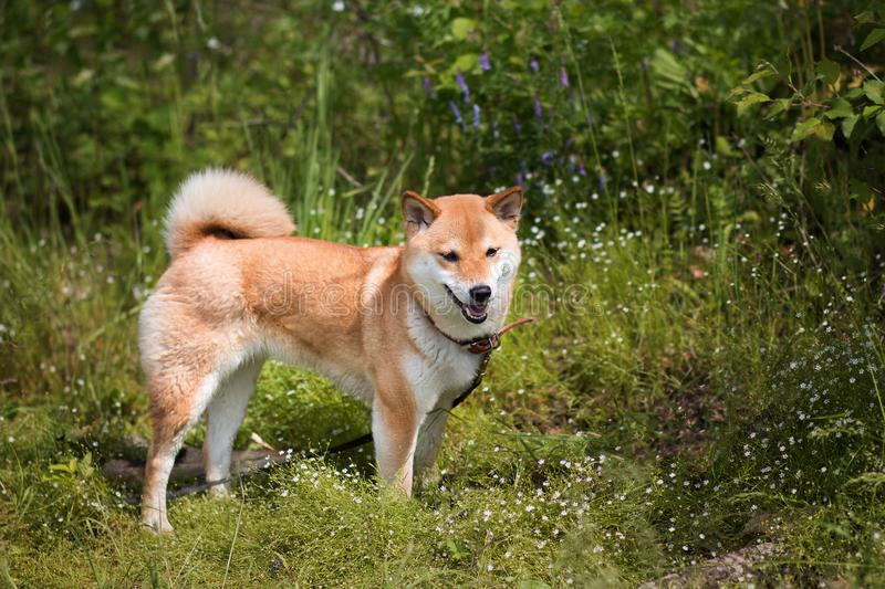 Young shiba inu dog standing on a background of green grass in the summer sun stock images