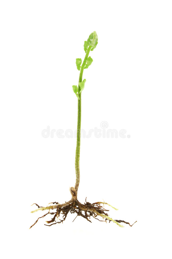 Young shoot of a fern plant royalty free stock photography
