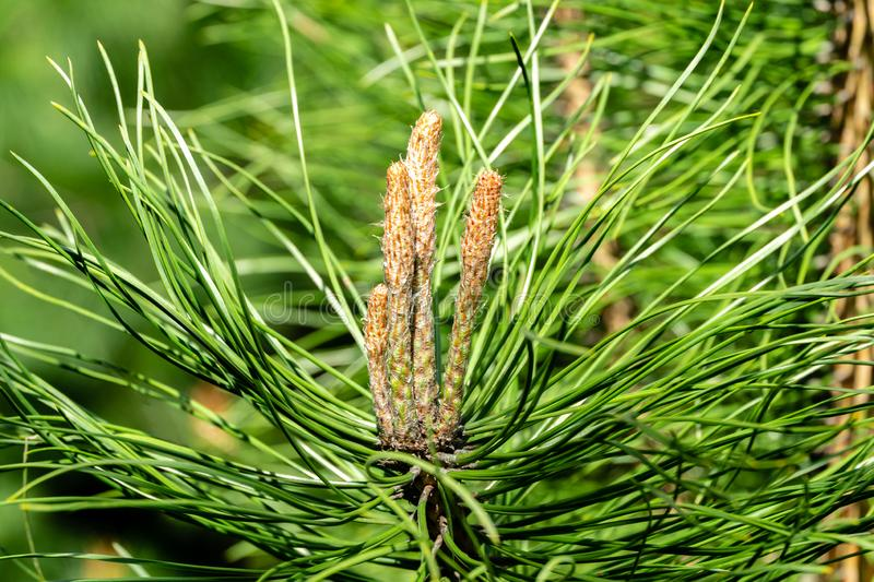 Young shoots on branch of young pine Pinus. Sunny day in spring garden. Nature concept for design. Selective focus stock photography