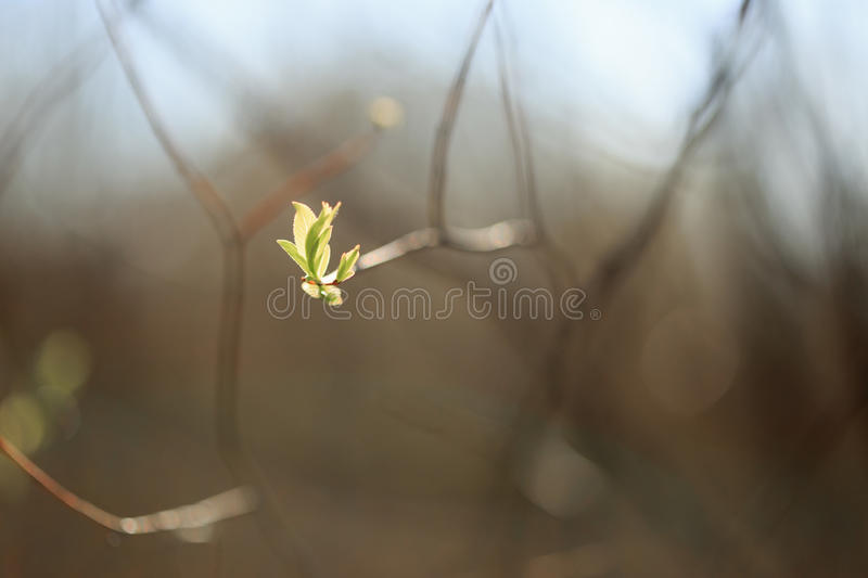 Young shoots, buds of trees in spring.  stock photo