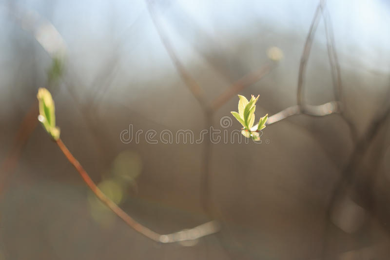 Young shoots, buds of trees in spring.  stock photos