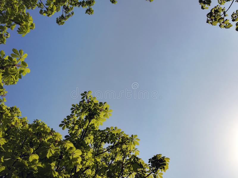 Young shoots of chestnut against the blue sky stock photography
