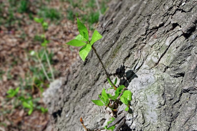 Young shoots with delicate foliage on the bark of a large tree royalty free stock photo