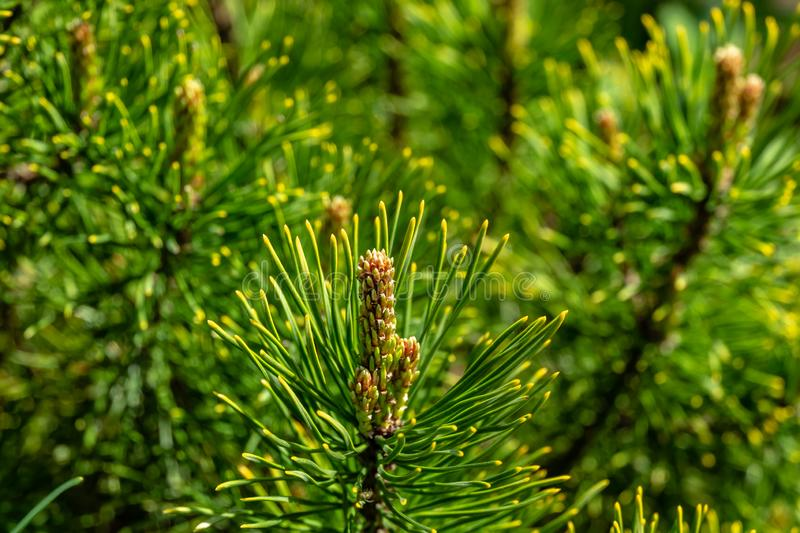 Young shoots of Golden cultivar dwarf mountain pine Pinus mugo Ophir with beautiful golden tips of needles. Sunny day in spring garden. Nature concept for stock images
