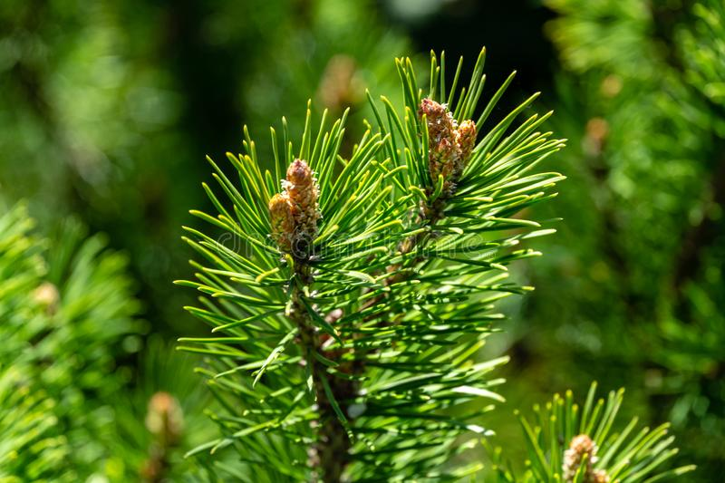 Young shoots of mountain pine Pinus mugo Pumilio. Small and fluffy. Sunny day in spring garden. Nature concept for design. Selective focus royalty free stock images