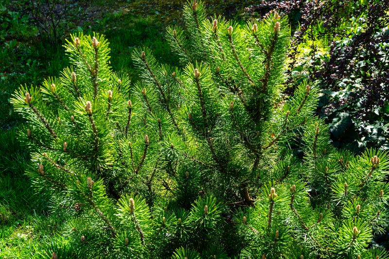 Young shoots of mountain pine Pinus mugo Pumilio. Small and fluffy. Sunny day in spring garden. Nature concept for design. Selective focus royalty free stock image