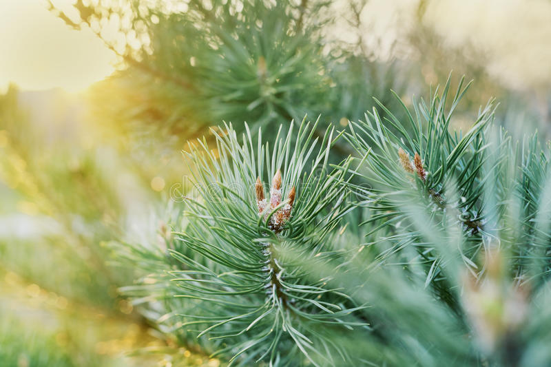 Young shoots of the pine branches in the golden sunset light, lovely landscape of nature stock photos