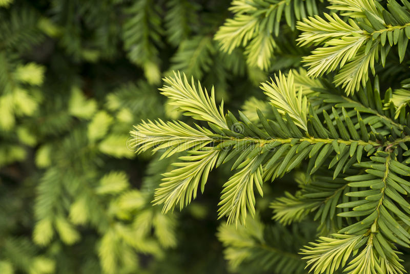 Young shoots of pine tree. Macro stock image