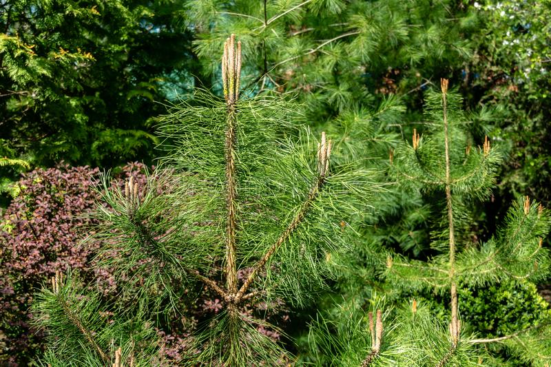 Young shoots on young pines Pinus on background of evergreens. Sunny day in spring garden. Nature concept for design. Selective focus stock photos