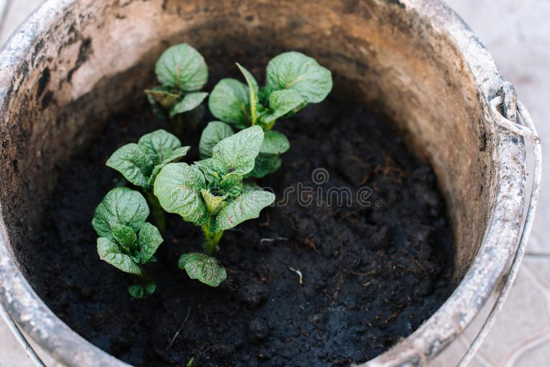 Young shoots of potatoes planted in a bucket. Side view. stock photos