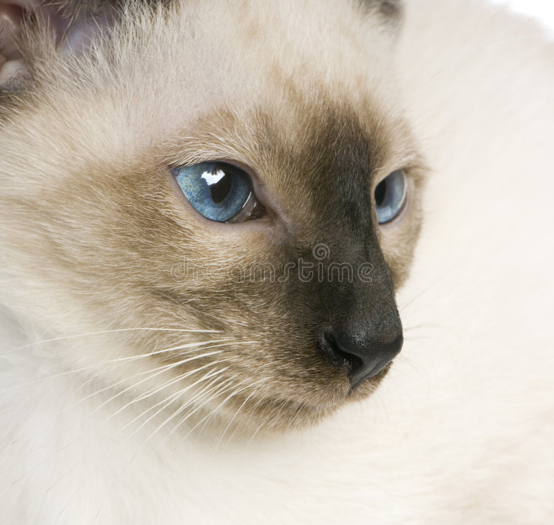 Young Siamese Stock Image