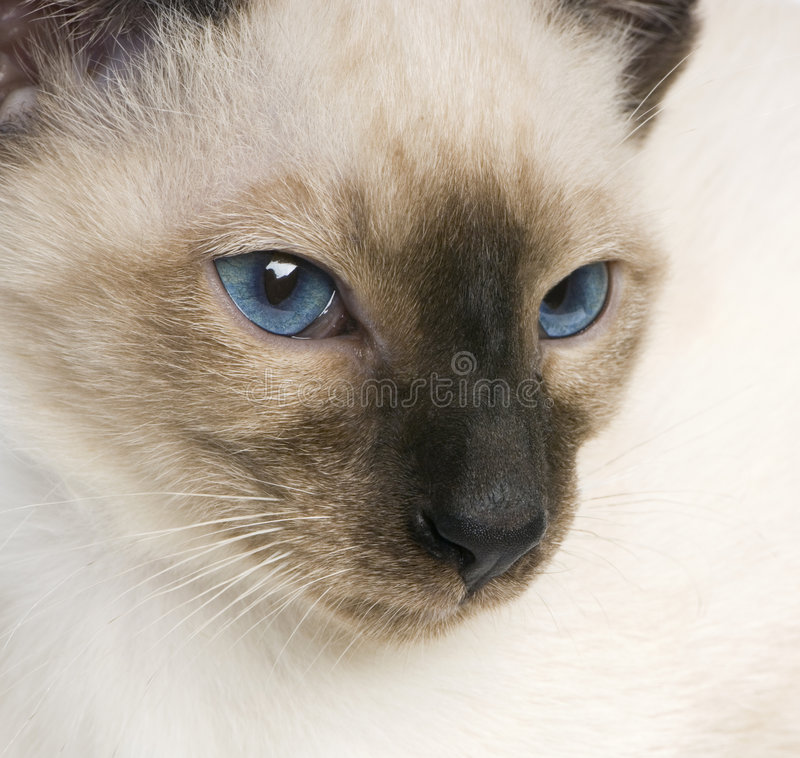 Download Young Siamese Royalty Free Stock Photos - Image: 2313308