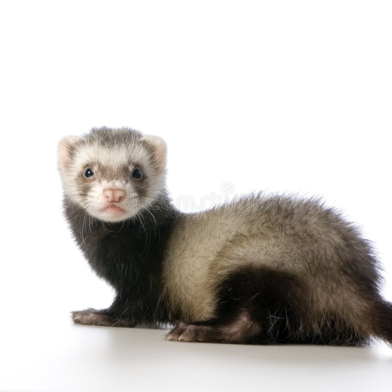 Young siamese sable Ferret kit stock images