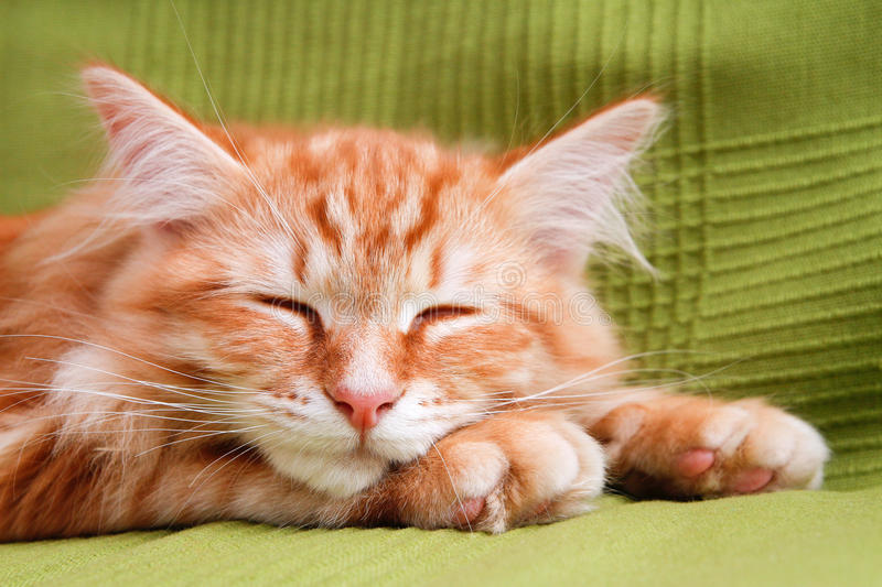 Young siberian cat sleeping royalty free stock images