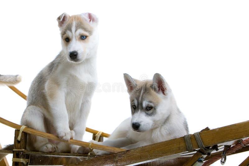 Young Siberian Husky dogs stock photo