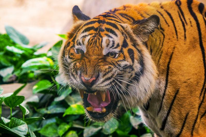 Young siberian tiger in action royalty free stock photography