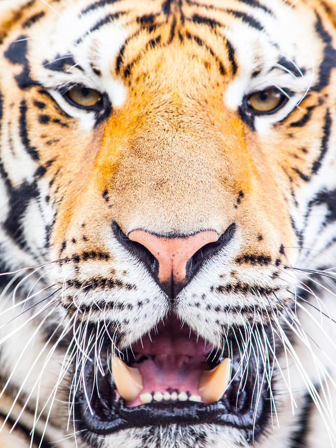 Young siberian tiger portrait with open moutn and shap teeth.  royalty free stock images