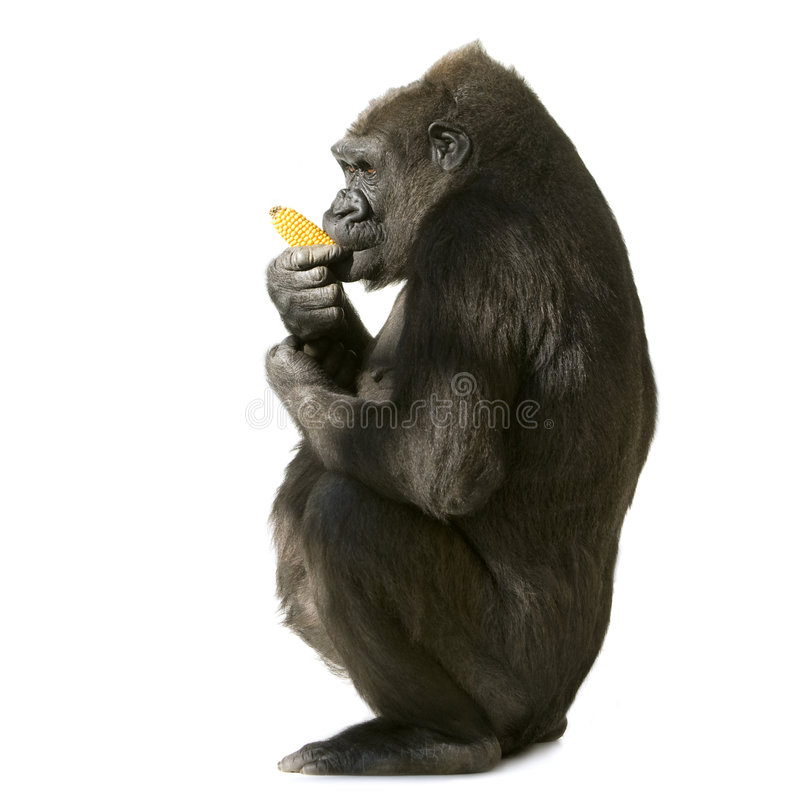 Young Silverback Gorilla royalty free stock images