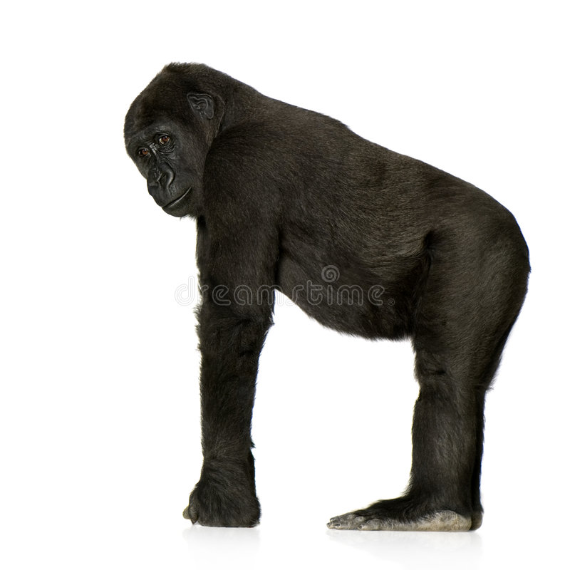 Young Silverback Gorilla. In front of a white background stock images