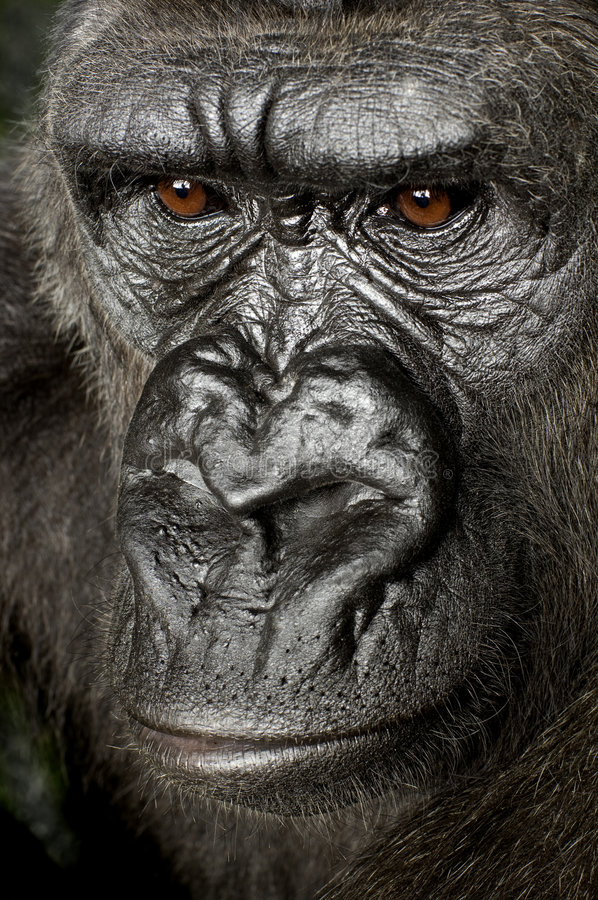 Young Silverback Gorilla. In front of a white background