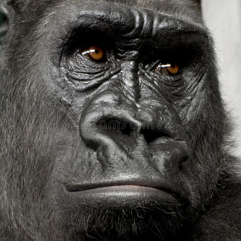 Download Young Silverback Gorilla stock image. Image of baby, studio - 3684231
