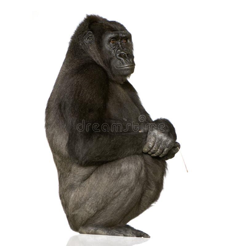 Download Young Silverback Gorilla stock image. Image of shot, kong - 3684505