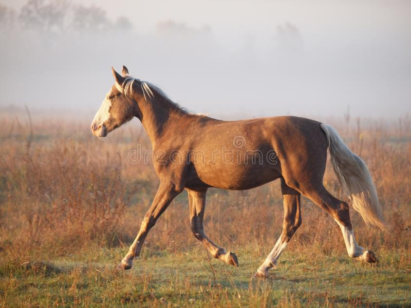 The young silvery-black stallion trots on a morning meadow. Against the background of fog royalty free stock photos