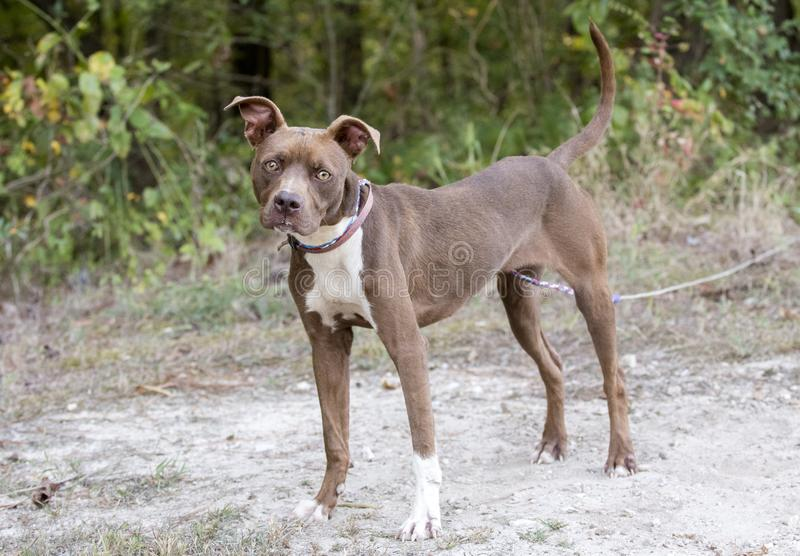 Young skinny Pitbull Terrier dog tied outside in the dirt stock photo