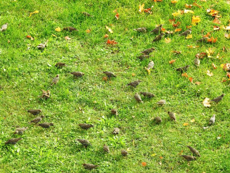 Young starling birds on green grass, Lithuania. Young small beautiful starling birds on green grass in autumn royalty free stock photos