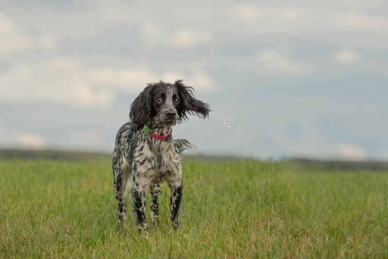 Young  small proud english springer spaniel is standing in the grass in a green meadow stock photo