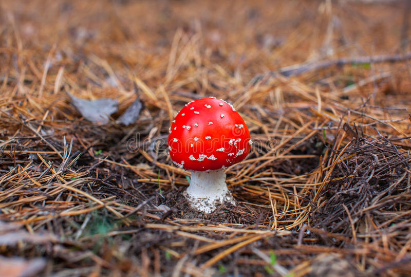 Young, small, with a red hat poisonous mushroom forest amanita growing in a spruce forest. royalty free stock photo